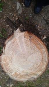 El árbol de Lantigua, como muchos le conocieron, estaba en pleno crecimiento y gozaba de buena salud, como lo demuestra esta foto cadavérica de su tronco cercenado por la envidia.